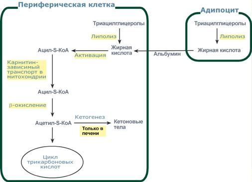 Как активизировать сжигание жира в организме - Клиника Доктора Бровко